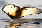 humpback whale tail diving in Antarctic waters on a sunny summer day poster