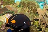 Achilles Tang (Acanthurus achilles) in Coral Reef Aquarium poster