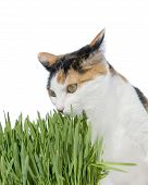 Female cat smelling grass, isolated, white background poster
