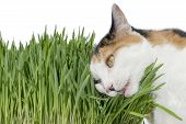 Female cat chewing grass, isolated, white background poster