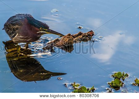 A Good Shot of a Small Heron, or Wading Bird, Called a Green Heron (Butorides virescens)