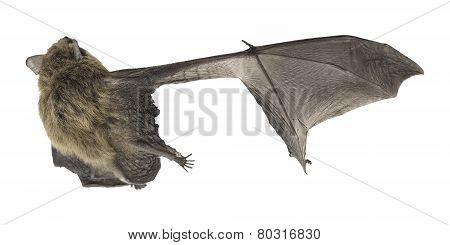 Top view of Common Pipistrelle with broken wing