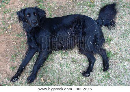 Big black hairy dog lying on its side