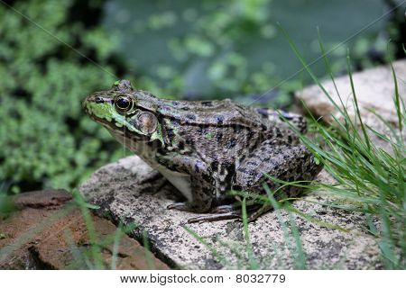 Large Patient Bullfrog