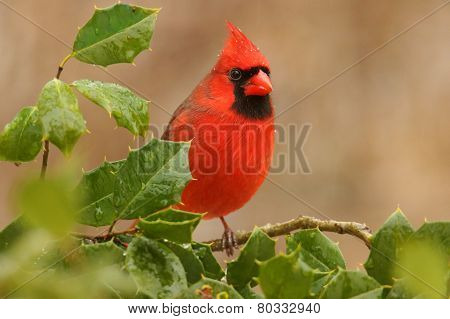Cardinal In A Holly Bush