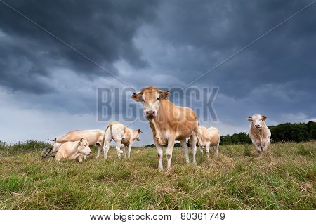 Beige Cattle Herd On Pasture