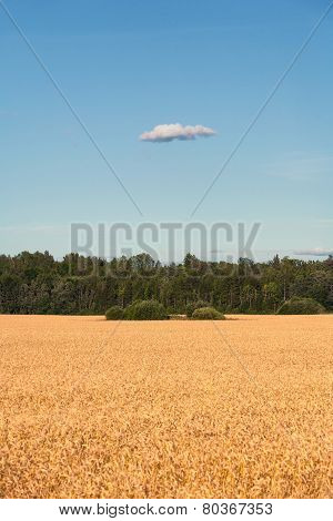 Yellow Field Sown Grain And Blue Sky With Clouds
