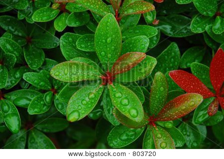 Water Droplets On Fresh Leaves