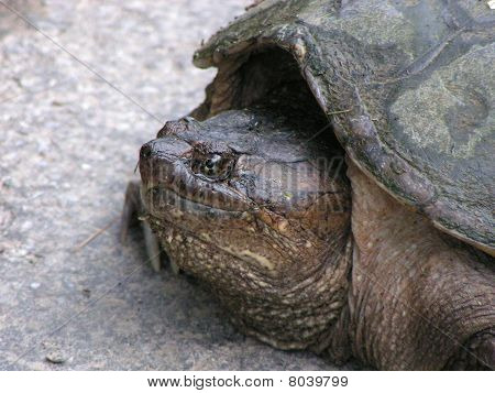 Close-up Snapping Turtle