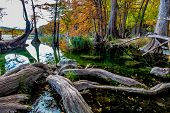 Giant Gnarly Bald Cypress Tree Roots and Beautiful Fall Foliage Surrounding the Clear Frio River Texas. poster