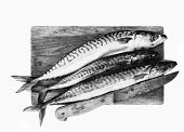 Detail of the fresh mackerels in the cutting board poster