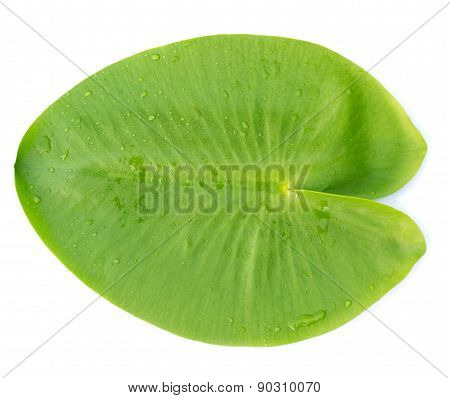 Green leaves water lily