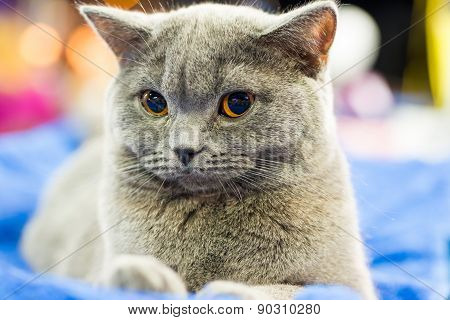 Adorable Britan Gray Cat With Orange Eyes