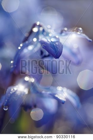 Defocused Blue Background With Spring Flowers - A Scilla Siberica