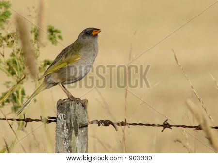 Great Pampa Finch