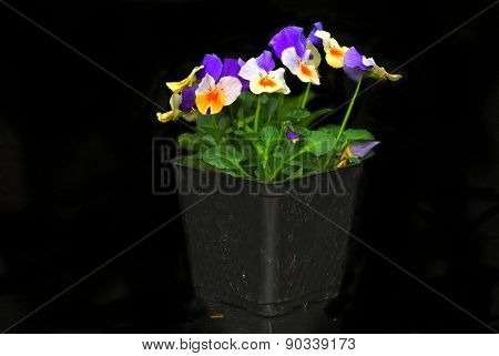 Purple and peach colored pansies in pony pack on black background