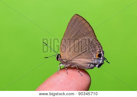 Slate Flash Butterfly