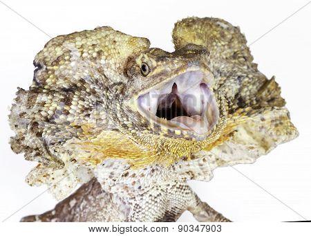 Frilled Neck Lizard