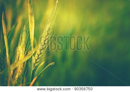 Green Wheat Head in Cultivated Agricultural Field Early Stage of Farming Plant Development Retro Toned Image with Selective Focus with Shallow Depth of Field poster