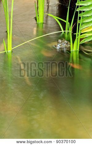Frog In Running Stream, Closeup