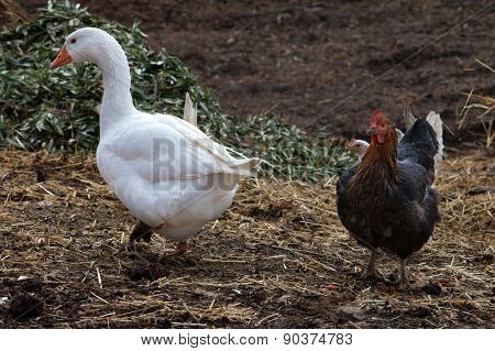 Goose And Rooster