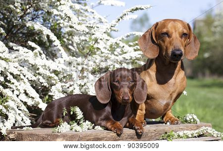 dachshund chocolate puppy and red dog dachshund