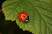 Ladybird beetle (Coccinella septempunctata) on a fly to eat on a sheet poster