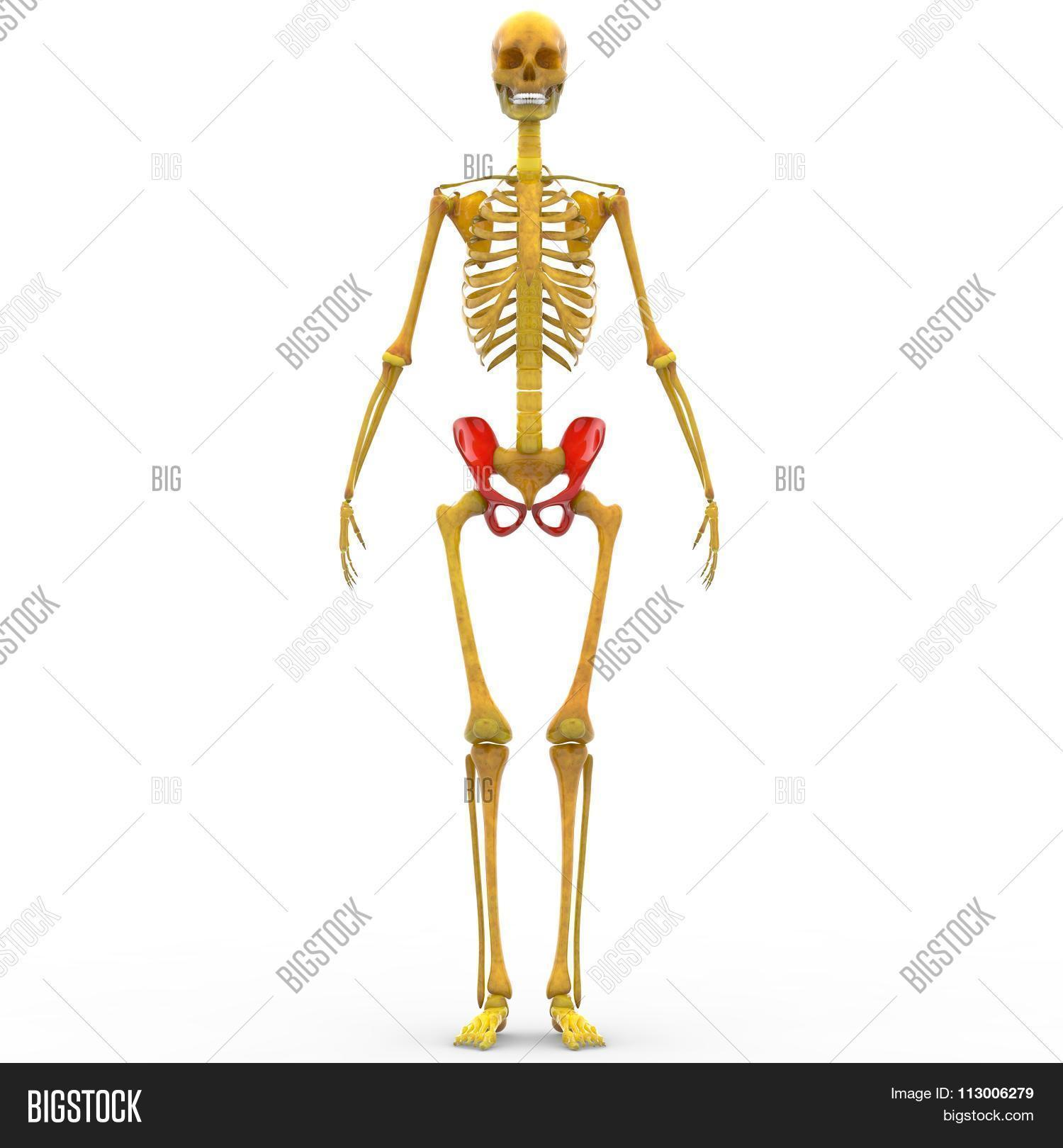 Human Skeleton Ilium Image Photo Free Trial Bigstock