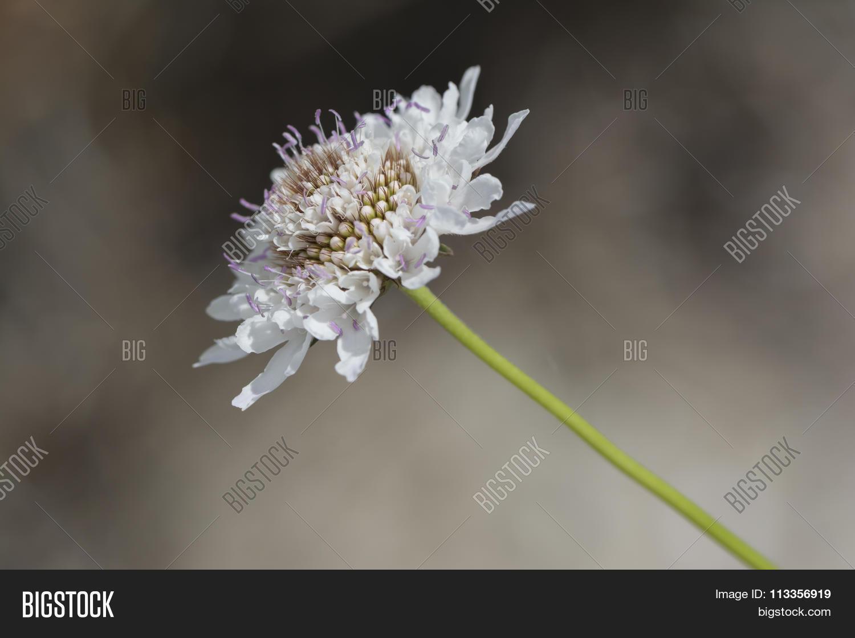 White Scabiosa Image Photo Free Trial Bigstock