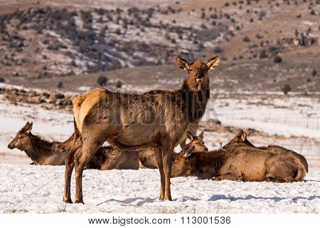 Cow Rocky Mountain Elk