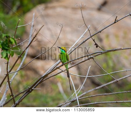 Green Bee eater, near Bangalore, India.