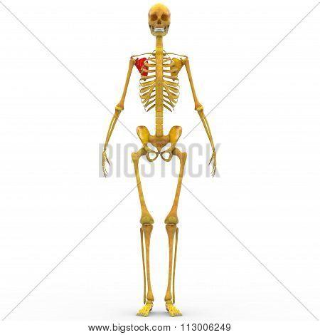 Human Skeleton Scapula