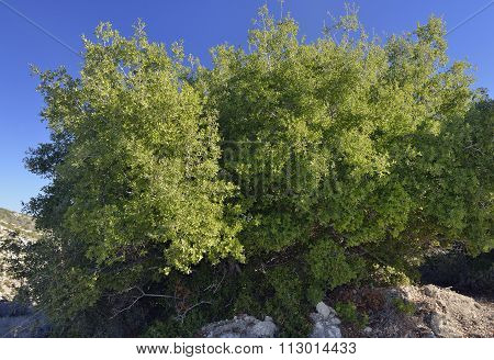 Evergreen, Holm Or Holly Oak