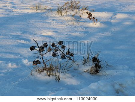 Yucca cacti