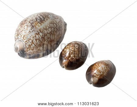 Sea Shells Cowry