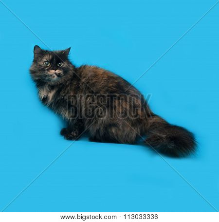 Turtle Fluffy Cat Sits On Blue