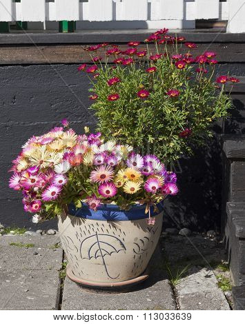 Close up on Dorotea-flowers in a flowerpot