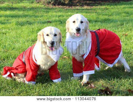 Two Cute Labrador Retriever With Santa Suit At Christmas
