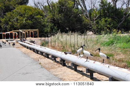 Australian White Ibises with black and white plumage standing on slurry lines on the edge of a cement path in a nature setting. poster