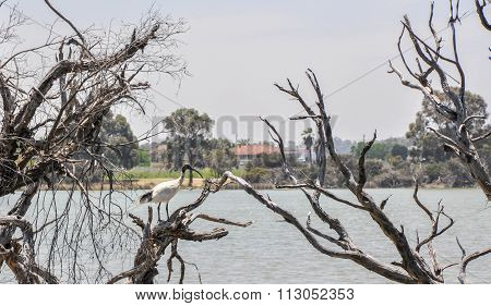 Australian White Ibis: Lake Coogee Wetlands