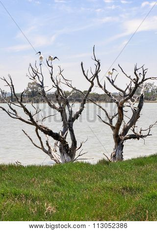 Wetland Trees with Australian White Ibises
