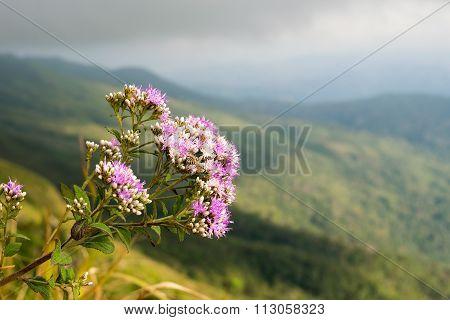 Bitter bush or Siam weed - purple and white flower on peak