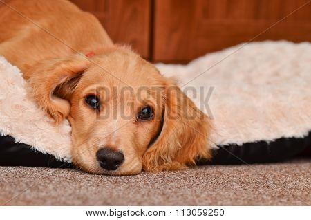 Cute Cocker Spaniel Puppy.