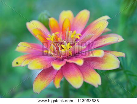 Pink And Yellow Hybrid Aster Flower In Rama 9 (local Name) National Garden, Bangkok Thailand