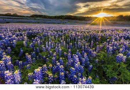 Texas Bluebonnet Field In Sunset At Muleshoe Bend Recreation Area
