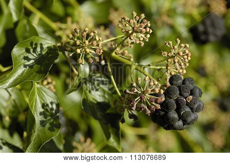 Common Ivy Fruit