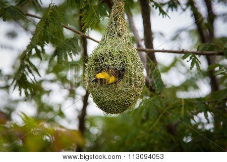 Baya Weaver at nesting site.