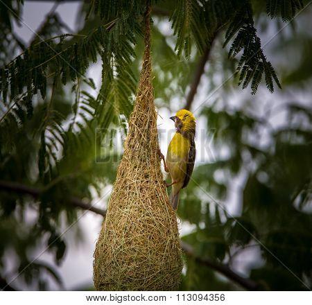Baya  Weaver Male, at nesting colony on the outskirts of Bangalore, India.