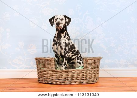Pure breed Dalmatian dog sitting in animal bed