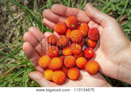 The Girl Holds In Hands Ripe Berries Arbutus. Close-up.